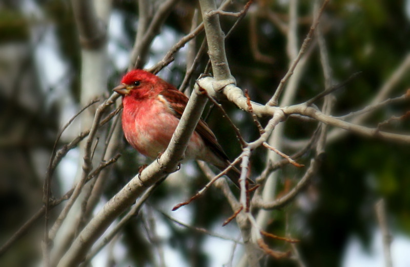 Purple Finch/Male
