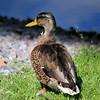 American Black Duck Hybrid