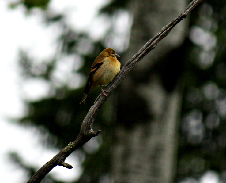 Goldfinch / male