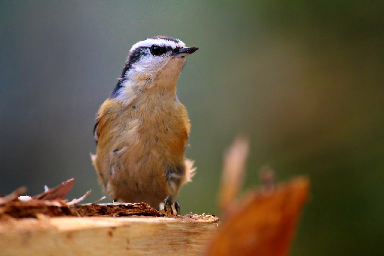 Rose Breasted Nuthatch / Juvenile