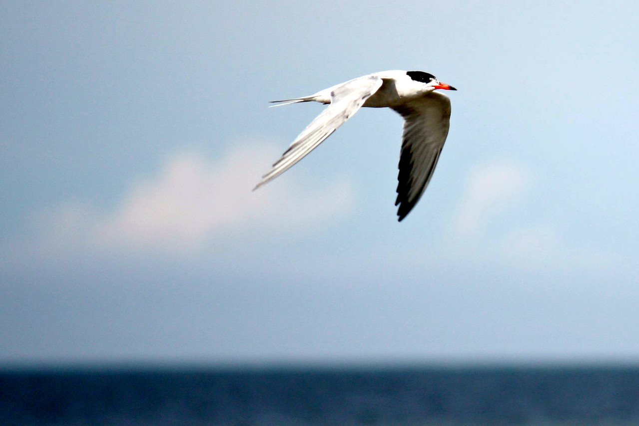 Common Tern
