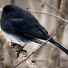 Slate Colored Junco