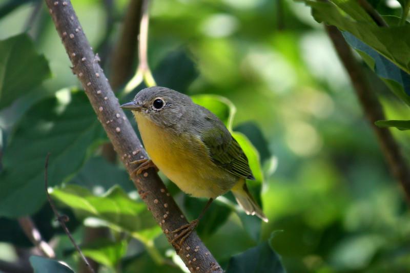 Mourning Warbler / Juvenile Male