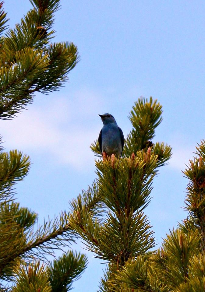 Mountain Bluebird / Male