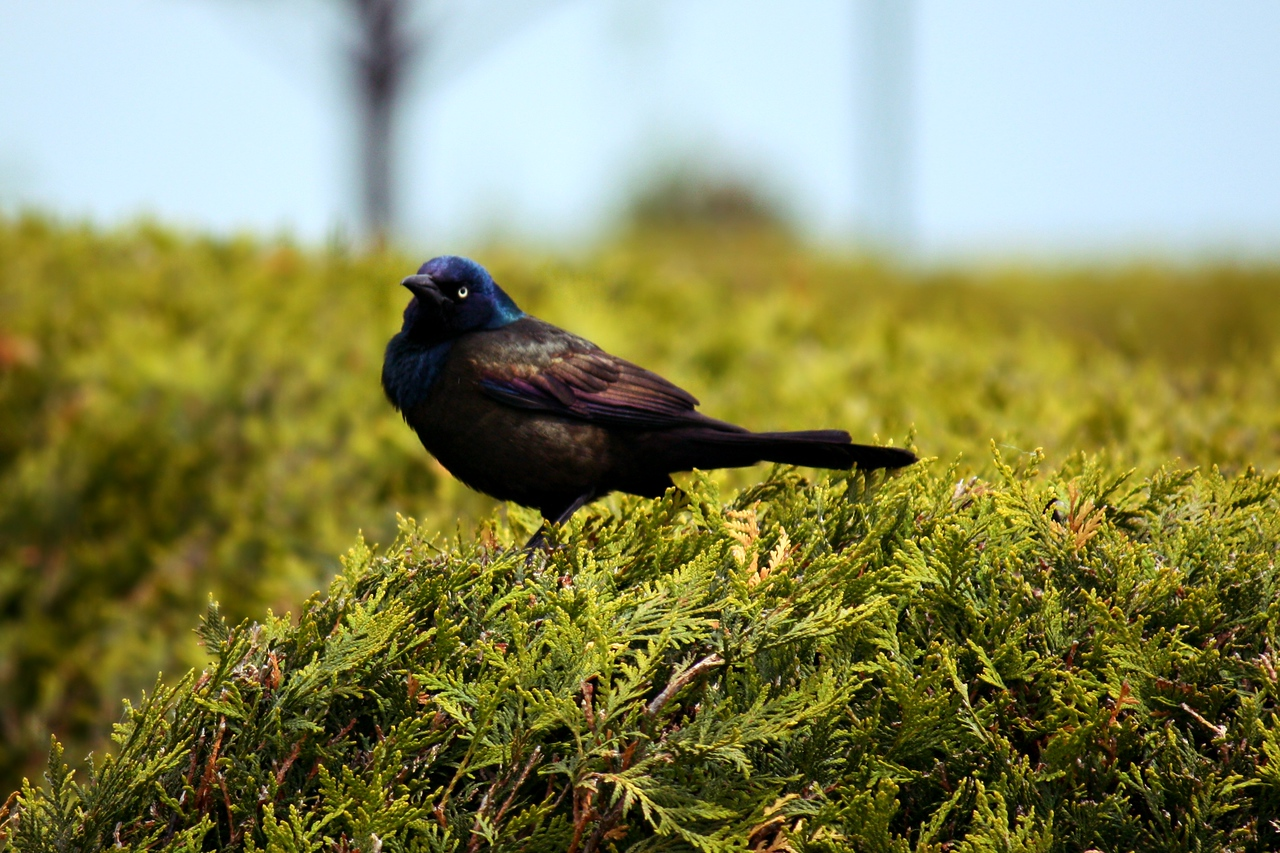 Common Grackle / Male