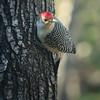 Red-bellied Woodpecker / Male