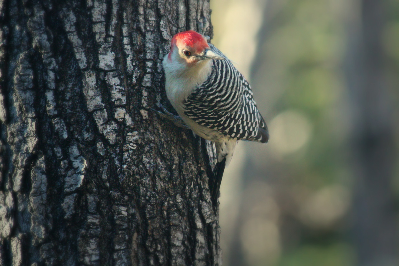 Red-bellied Woodpecker / Male