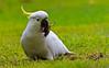 Sulphur Crested Cockatoo (5)