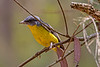 Eastern Yellow Robin (2)