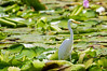 Intermediate Egret (11)
