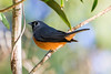 Black Faced Monarch  Flycatcher (2)