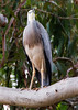 White Faced Heron (11)