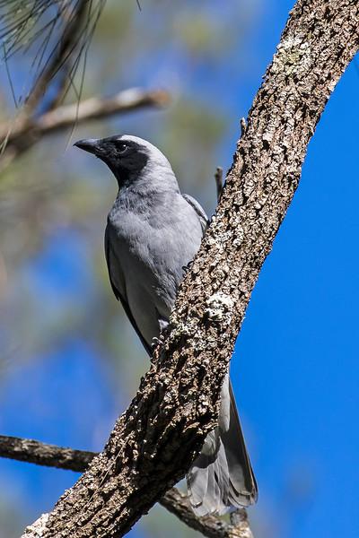 Black faced Cuckoo Shrike (2)