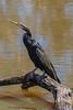 Australasian Darter (Snakebird) (2)