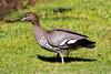 Australian Wood Duck (2)