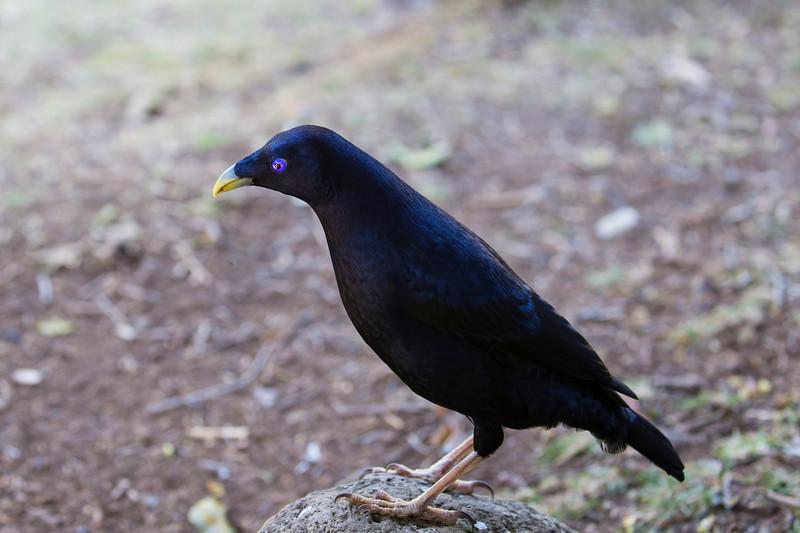 Satin Bower Bird (2)