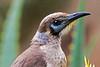 Little Friarbird (1)