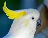 sulphur crested cockatoo (6)