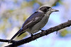 Grey Butcher Bird