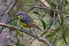 Eastern Yellow Robin (1)