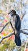 Australian Darter or Snakebird (2)