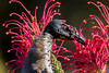 noisy friarbird (4)