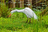 Intermediate Egret - Breeding Plumage (4)