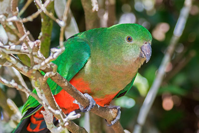 King Parrot female (2)