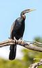Australian Darter or Snakebird