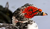 Muscovy Duck Male (2)