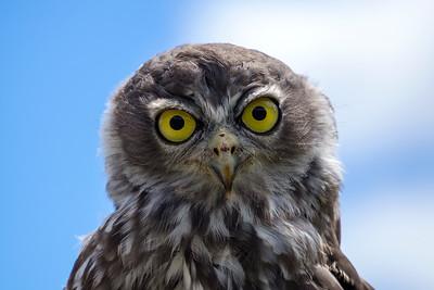 Juvenile Barking Owl (3)