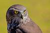 Barking owl (2)