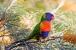 Rainbow Lorikeet (6)