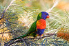 Rainbow Lorikeet (6)