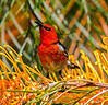 Scarlet honeyeater feeding on grevillia nectar