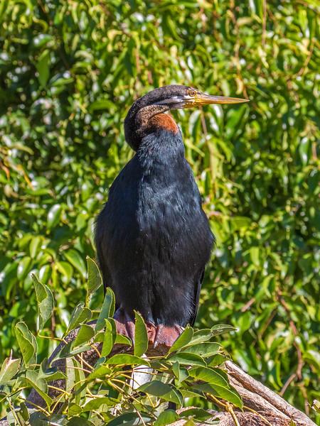 Snakebird - Australasian Darter