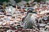 Bush Stone Curlew (2)
