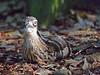 Bush Stone Curlew (6)