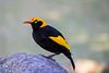 Regent bower bird (4)