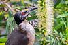Noisy Friarbird (1)