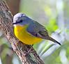 Eastern Yellow Robin (3)