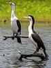 Pied Cormorant (3)