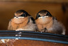 Welcome Swallow chicks waiting for food delivery (3)