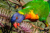 Rainbow Lorikeet (2)