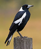 Australian Magpie (3)