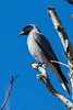 Black faced Cuckoo Shrike (3)