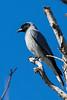 Black faced Cuckoo Shrike (3)