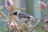 Noisy Friarbird 7