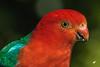 King Parrot (3)