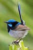 Superb Fairy Wren male (2)